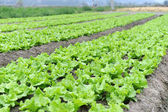 Lettuce growing in the soil — Stok fotoğraf