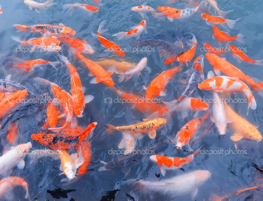 Red and gold fishes over water golden  — Stock Photo #7967021