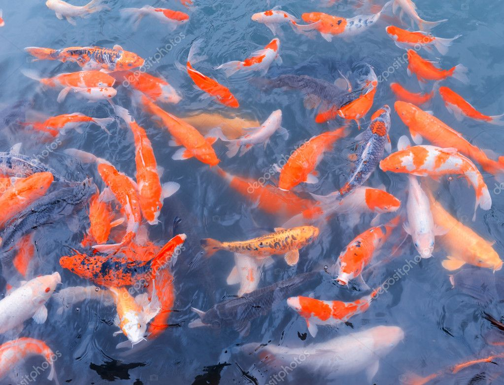 Red and gold fishes over water golden  — Photo #7967021