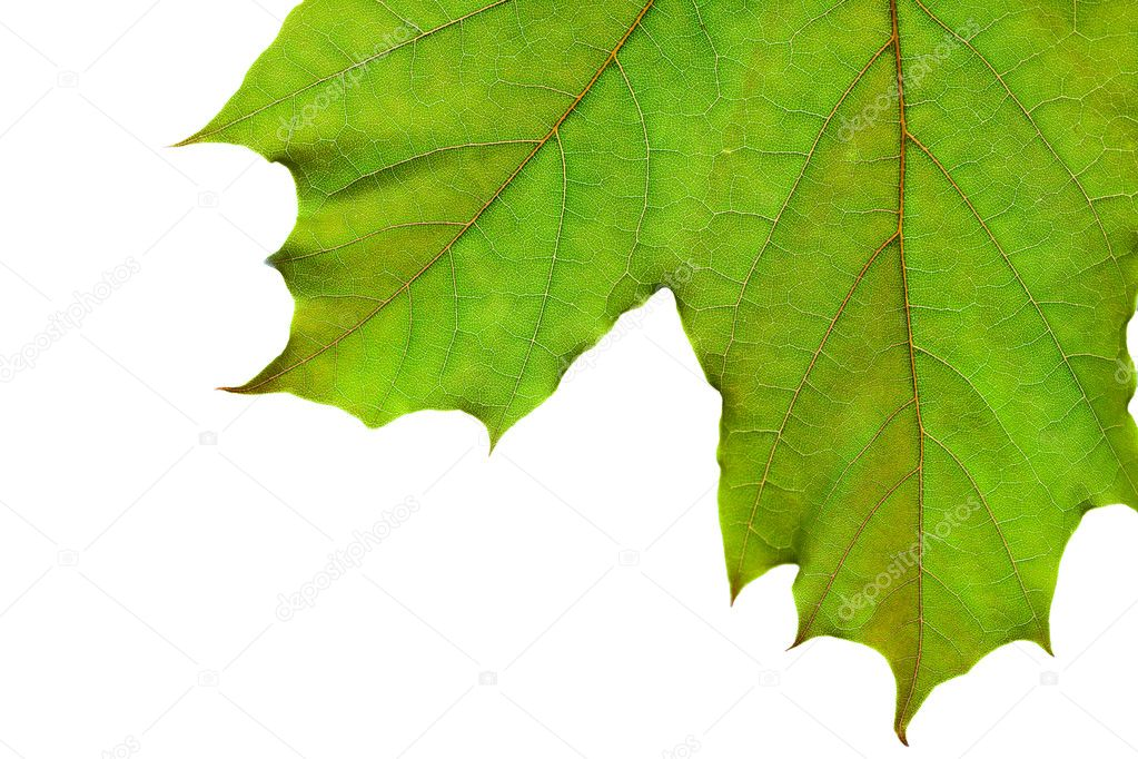 Closeup on fresh, green leaf isolated on white  Stock Photo #9647785