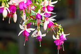 Fuchsia — Stock Photo