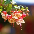 Fuchsia — Stock Photo