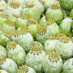 Capsules of poppy — Stock Photo
