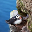 Puffin - Stock Photo