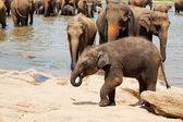 Elephants on Sri Lanka — Stock Photo