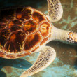 Turtle — Stock Photo #10467799