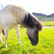 Stock Photo: Horse in Iceland