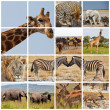Safari — Stock Photo