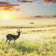 Antelope — Stock Photo #8779024