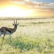 Royalty-Free Stock Photo: Antelope