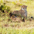 Cheetah — Stockfoto #8931297