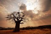 猴面包树 — 图库照片