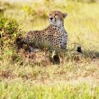 Cheetah — Foto de stock #8998708
