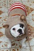 Oscar the bulldog — Stock Photo