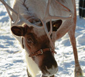 Curious Reindeer — Stock Photo