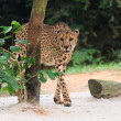 Stock Photo: Cheetah Coming Out
