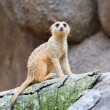 Meerkat Foot Tap — Stock Photo