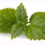 Fresh mint leaves — Stock Vector