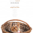 Lovely dog yorkshire terrier in the basket isolated on the white - Stok fotoraf