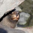 Curious Fur Seal — Stock Photo #10420987