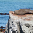 Fur Seal resting — Stock Photo