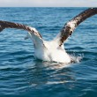 King Albatross taking off — Stock Photo