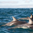 Stock Photo: Dusky dolphins