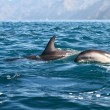 Dusky dolphins — Stock Photo #10421029