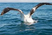 King Albatross taking off — Stock Photo