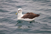King Albatross — Stock Photo