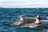 Dusky dolphins — Stock Photo
