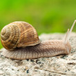 Land snail — Foto de Stock
