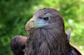 Eagle portrait — Stock Photo