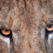 Eyes of the lion — Stock Photo