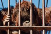 Orangutan in Zoo — Stock Photo