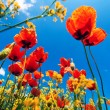 Poppy flowers — Stock Photo #10719224