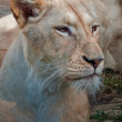 Lioness - Stock Photo