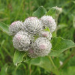 Inflorescence tomentose or cobwebby burdock (Arctium tomentosum) — Stock Photo