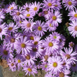 Stock Photo: Aster Itali(aster amellus), sort of «Pink zenith»