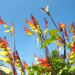 Quamoclit lobata, Mina lobata, Ipomoea versicolor — Stock Photo