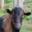 Portrait of the brown horned goat — Stock Photo