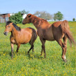 Horses in flowery meadow — Stockfoto #10660396