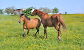 Horses in flowery meadow — Stock Photo