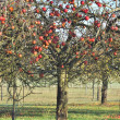Stock Photo: Apple tree in autumn