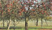 Apple tree in autumn — Stock Photo