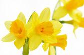 Daffodils flowers — Stock Photo