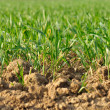 Green seedlings of wheat — Stock Photo