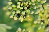 Beetles on canola buds — Stock Photo