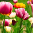 Violet tulips in a field of colorful tulips — Stock Photo