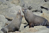 Fighting Fur Seals — Stock Photo